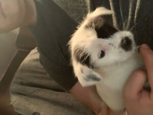 Jack russel/shih tzu puppies for sale!