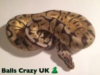 Female Bumblebee Het Red Axanthic Royal Python