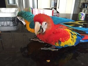 Baby macaws for sale