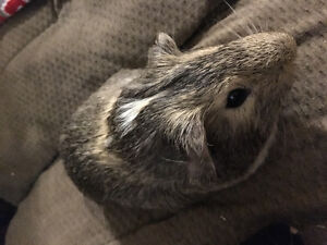 5 Month Old Guinea Pig Needs Forever Home! Everything Included!