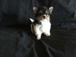 BIEWER YORHSHIRE TERRIER TINY TOY PARENTS ENRG IBC