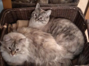 Siamese/Ragdoll female spayed cats
