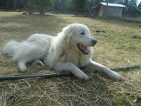 Livestock Dog needs a Good Home