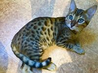 Bengal pure breed boy