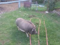 house broken mini pig for sale