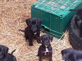 Cocker spaniel/ collie cross Puppies