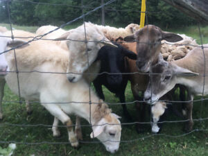 Flock of 12 sheep for sale (katahdin and dorper)