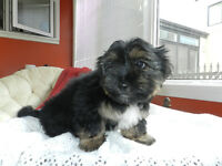 ~Gorgeous SHORKIE Girl!~ Yorkie T.BEAR face &Colours!~ READY !