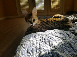 2e82424f0665 Savannah Kittens for Rehoming for F1 lovers