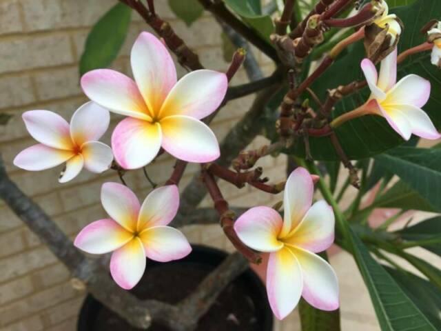 Mature Pink Amp Yellow Cluster Frangipani Tree Plants