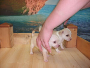 Teacup Chihuahua Puppies CHOCOLAT,LILAC,cream...BLUE GREEN eyes