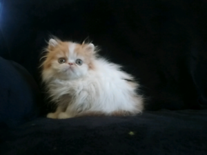 Red Persian Male