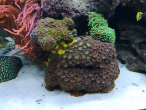 Coral!! large colonies and frags available for sale