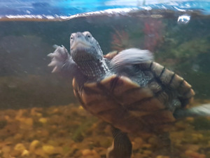 2 Mississippi map turtles for sale c/w 75g tank and custom stand