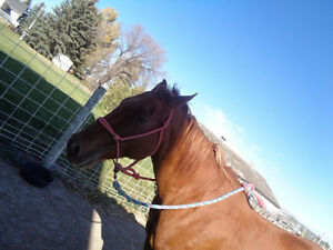QH/Arabian mare for sale *PRICE REDUCED!!* Great deal!! Strathcona County Edmonton Area image 10