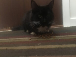 Found black long haired cat with white patches
