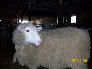 Commercial Ewes for Sale