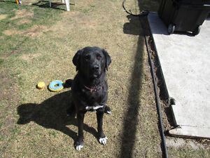 lab/husky 6 years old to a good home