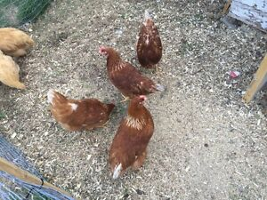 Laying Hens $20 each
