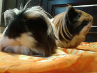 Male Rescue Guinea Pigs Available To Caring Cavy Enthusiasts