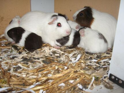 Guinea Pigs 4 sale Lockyer Albany Area Preview