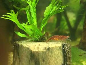 Large Cherry Shrimp With Eggs For Sale Roselands Canterbury Area Preview