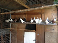 Pigeons For Sale ( Fantail Sold )