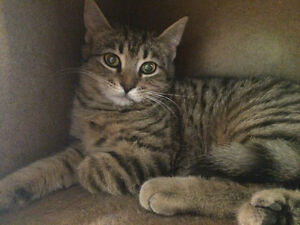 "Female kitten less than one year Tabby brown -""JACKIE"""