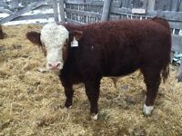 Yearling Simmental bulls