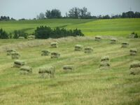 Excellent Timothy Horse Hay - Small Square Bales for Sale