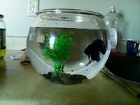 Blue and purple betta fish for sale