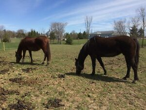2 mares for sale
