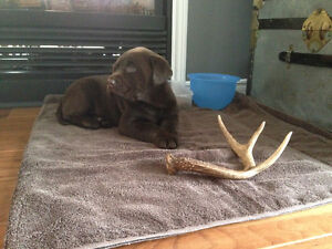Chocolate lab puppies and One fox red