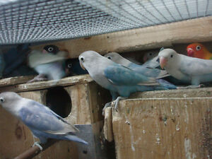 LOVEBIRDS FOR SALE FISCHERS AND BLACK MASK Sarnia Sarnia Area image 2