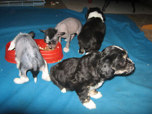 Chiots chien chinois 500-650$