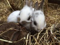 2 Male White and Brown 8 week old Netherland Dwarf Rabbits