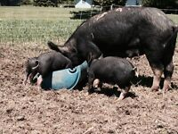 Berkshire Pigs and Piglets