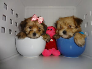Teddy Bear Tcup & Toy morkie puppies