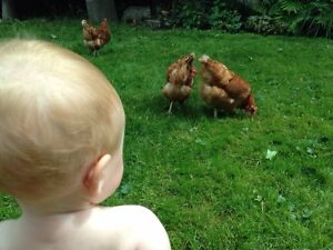 4 laying hens for sale