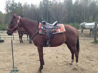 guelding 10 ans 15:2 pour la trail