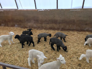Bottle fed lambs for sale