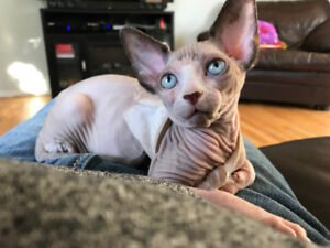 Sphynx a adopter