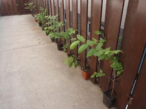 For Sale in the Spring:  Burr Oak, Ash, Manitoba Maple . . .