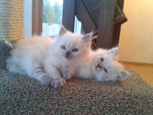 Adorable Ragdoll boys