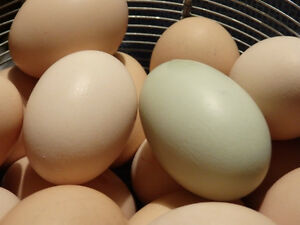 Farm Fresh Organic Chicken and Duck Eggs