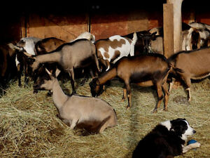 Dairy Goats/ bred and unbred does and breeding bucks for sale Prince George British Columbia image 4