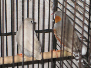 Zebra finches young birds and their parents.