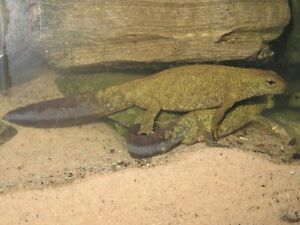Chinese Warty Newt