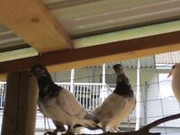 High flyer and fancy pigeons for sale