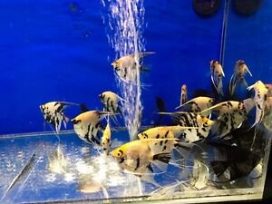 New Arrival - Angel Fish available in store